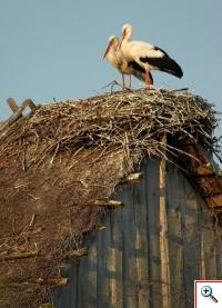Pokrycie budynków strzechą stwarzało doskonałe warunki dla bocianów do założenia gniazda. Fot. Jan Padoł, www.foto.net.pl
