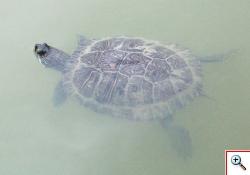 Żółw czerwonolicy (fot. Borys Kala)